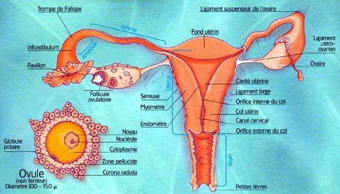 Vue interne appareil reproducteur féminin